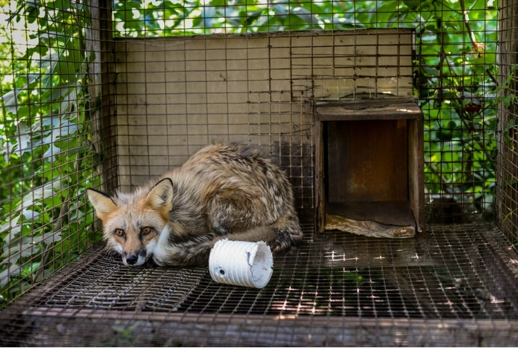 We Animals: A red fox at a fur farm in Quebec. Jo-Anne McArthur / #MakeFurHistory